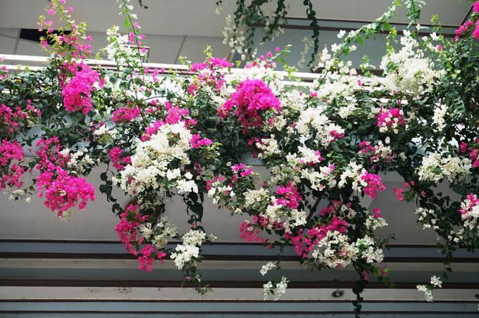 Cây Hoa Giấy trồng ở ban công