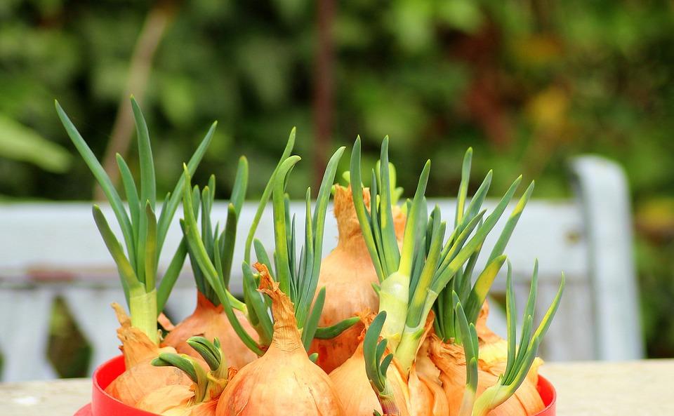 trồng hành tây trong phòng bếp