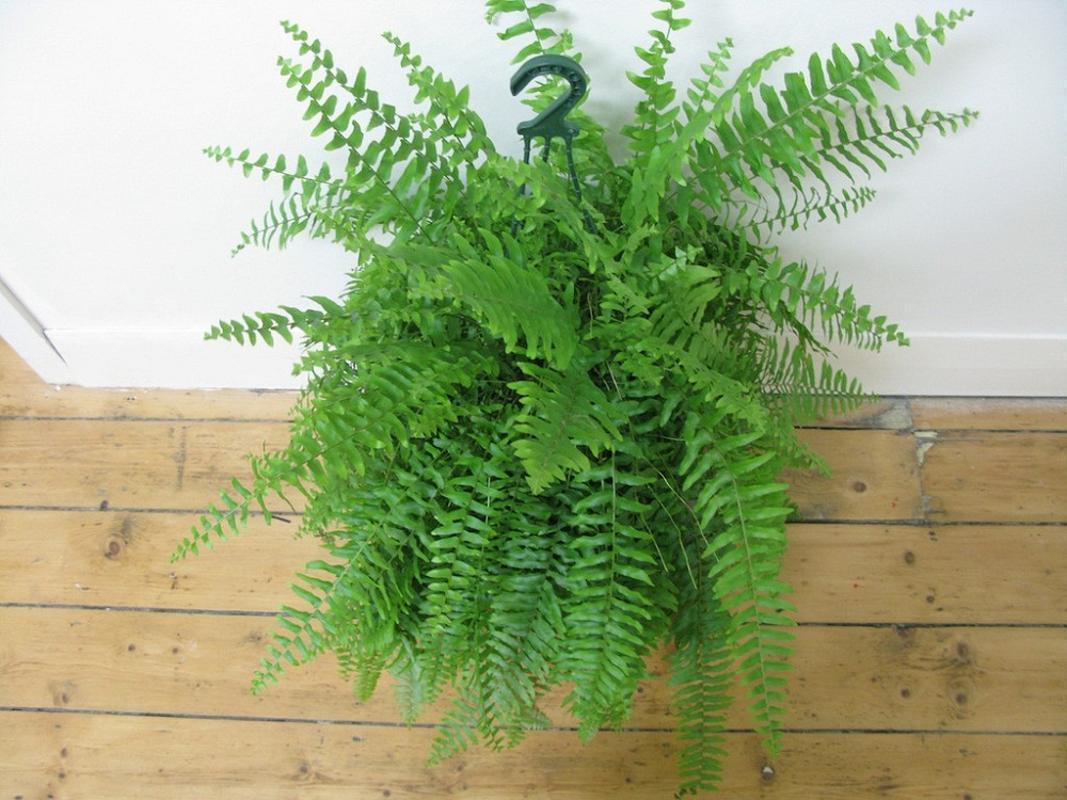 nên trồng cây dương xỉ trong phòng bếp