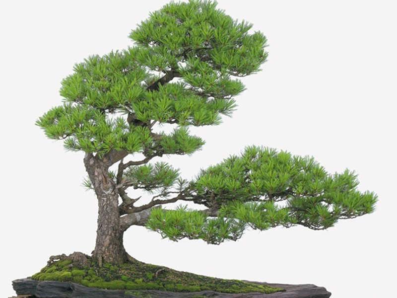 cây vạn niên tùng bách