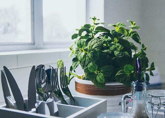 trồng cây bạc hà trong phòng bếp