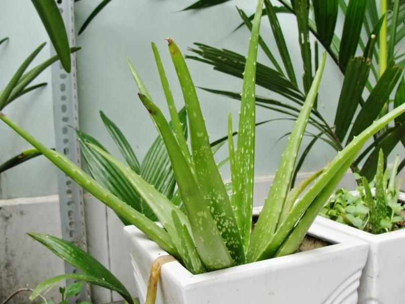 trồng cây nha đam trong phòng bếp