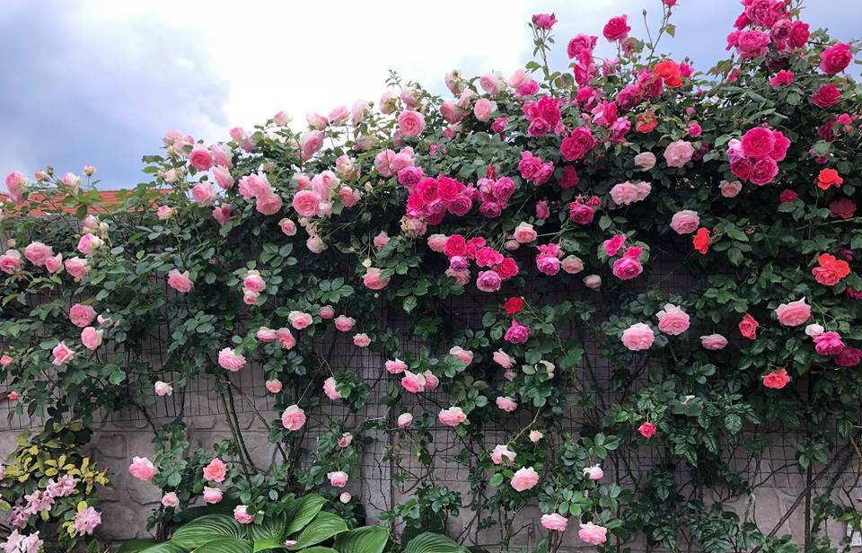 Trồng hoa hồng leo trên ban công