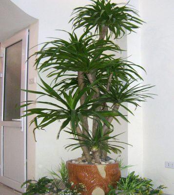 nên trồng cây gì trước cửa nhà - cây đại lộc