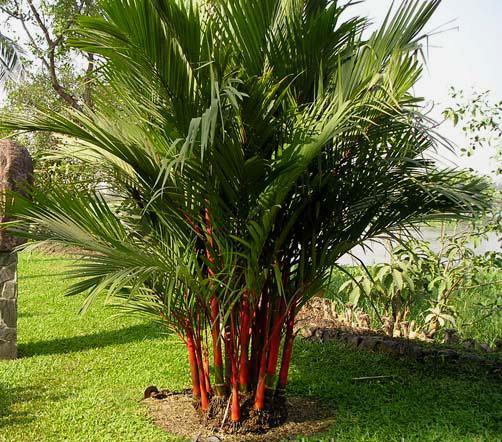 nên trồng cây gì trước cửa nhà - cây dừa cảnh