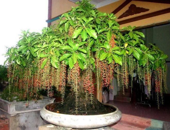 nên trồng cây gì trước cửa nhà - cây lộc vừng